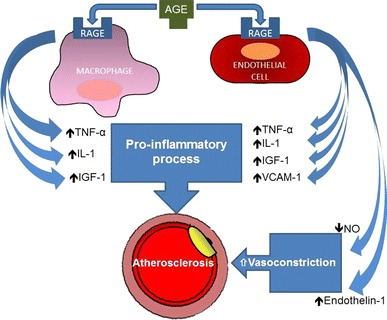 Cellular-binding-of-advanced-glycation-end-products-induces-atherosclerosis-The