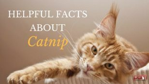 helpful-facts-about-catnip