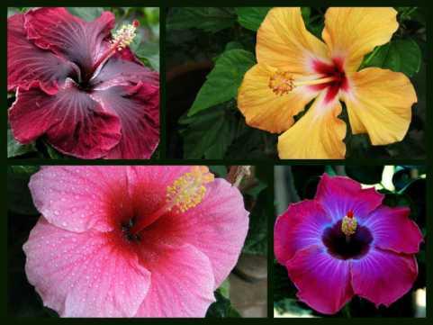 Hibiscus-Plant-Benefits-StethNews