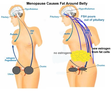 why-belly-fat-in-menopause